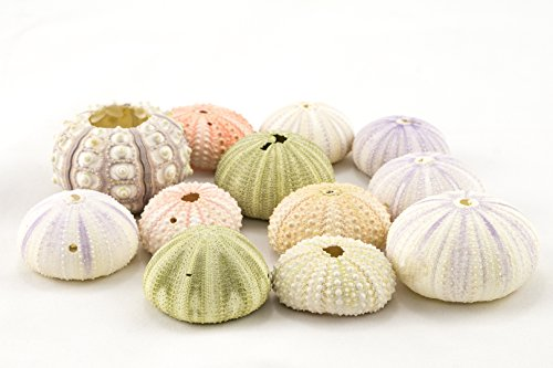 Sea Urchin | Imperfect Sea Urchins Assorted Colors| 12 Variety Pack | Flawed Pink Purple Green Sea Urchin Shells | Great for Craft and Decor | Plus Free Nautical Ebook by Joseph Rains