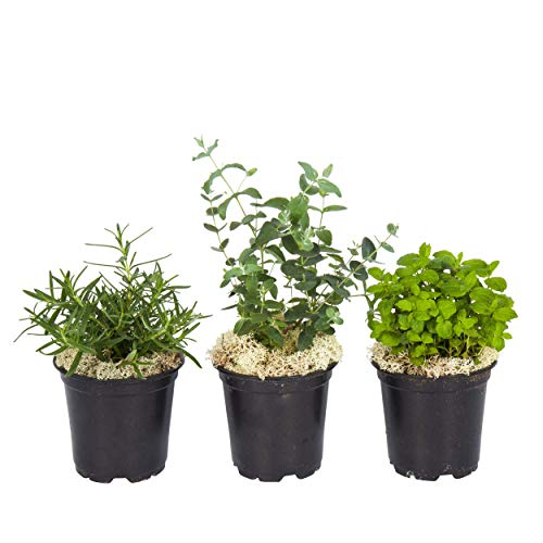 The Three Company Live Aromatic Combo Herb Assortment (Eucalyptus, Rosemary, and Lavender), 4' Pot Size, Natural Sleep Aid