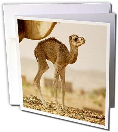 3dRose Mauritania, guelb Jmel, Little Dromedary en la well-af27apa0107–Aldo Pavan–Tarjetas de felicitación, 15.2x 15.2cm, Set de 12(gc _ 70912_ 2)