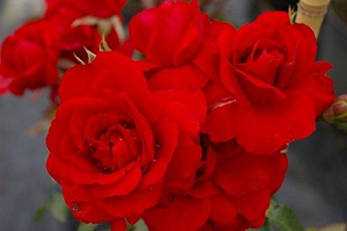 Kletterrose Amadeus® - Rosa Amadeus - blutrot - Duft+ - Kordes-Rose