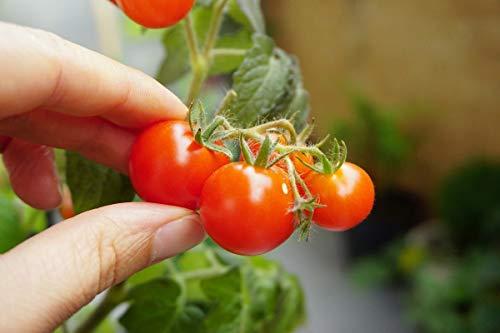 """Tomate""""Vilma"""" - kleine, rote Sorte, ideal für den Anbau von Töpfen -"""