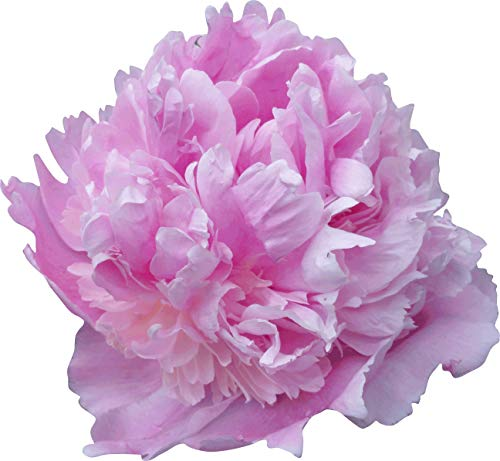 Sumerlin Lavender Peony Wall Decal Cutout 44'x48'