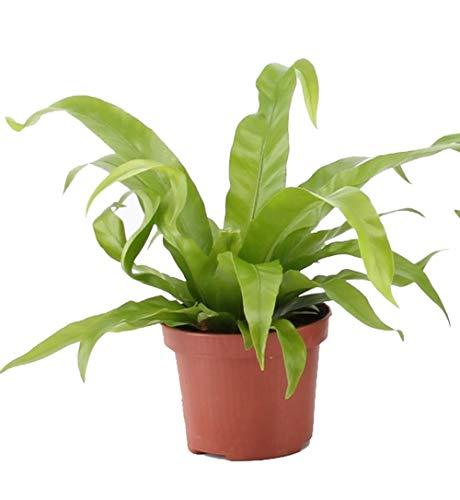 Nestfarn, (Asplenium antiquum), luftreinigende Zimmer und Büropflanze, verbessert das Raumklima, (im 12cm Topf, ca. 30cm hoch)