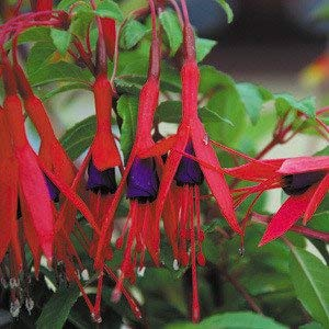 Potseed - Fuchsia Magellanica Seeds