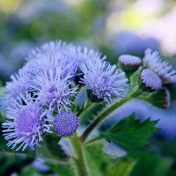 Generic Générique Ageratum Seeds Garden Courtyard Annuel Bleu Violet Beautify Fleurs Plantes Graines -20Pcs / Pack