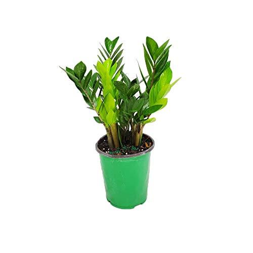 "ZZ Plant Zamia Zamifolia Overall Height 16"" - 19"" - Cannot Ship to Ca, Az, Pr, Ak, or Hi"