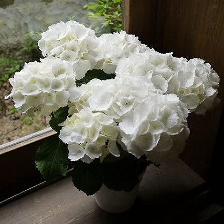 遅れてごめんね母の日 父の日 誕生日プレゼント花 白 鉢植え あじさい フラワー ギフト アジサイ ホワイト 5寸 鉢植え