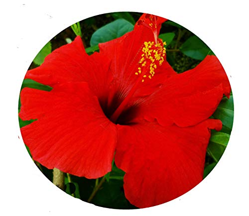 Brilliant RED Tropical Hibiscus Live Plant Single Flower Landscape Type Starter Size 4...