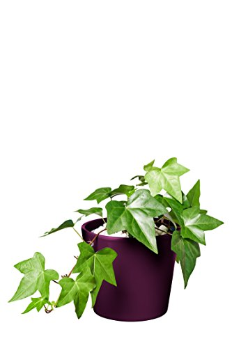 EVRGREEN | Zimmerpflanze Efeu in Hydrokultur mit violettem Topf als Set | Hedera helix Montgomery