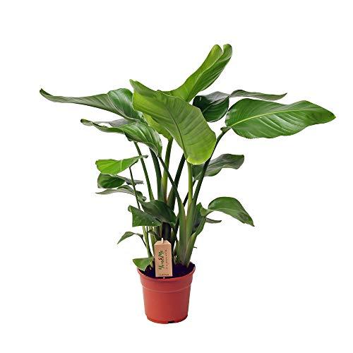 Strelitzia nicolai | Strelitzie Pflanze | Exotische Zimmerpflanzen groß | Höhe 65-80 cm | Topf-Ø 17 cm
