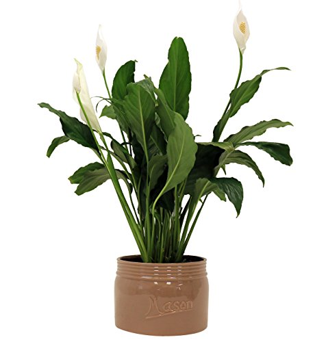 Tabletop Plant Peace Lily