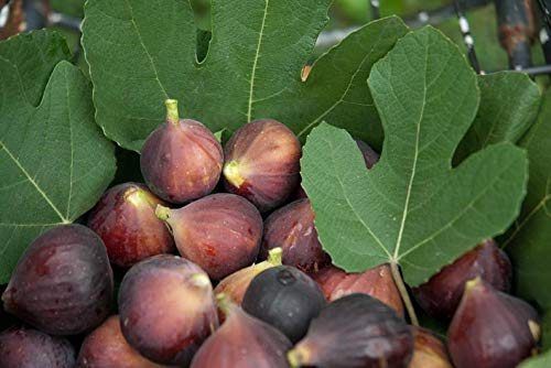 UEYR 100 pcsSeeds Grec Miel Figure Incroyable variété Exotique Fruit délicieux commun Ficus carica Fig higo anjeer Figura