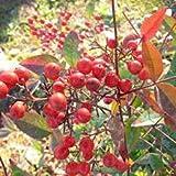 Aamish Semillas de árboles de pistache