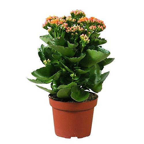 Pflanzen Kölle Flammendes Käthchen, Kalanchoe blossfeldiana 'Calandiva', orange, Topf 12 cm, Höhe ca. 26 cm