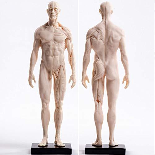Sculpture Statuette Menschliches Skelett Anatomische Malerei Modell Für Anatomische Anatomie Skull Skulptur Kopf Körper Muskel Künstler Zeichnen (Mann) Statue Artwork Für Wohnzimmer Tisch Zubeh
