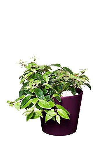 EVRGREEN | Zimmerpflanze Schamblume in Hydrokultur mit violettem Topf als Set | Aeschynanthus lobbianus