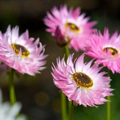 Heirloom Seeds 500 Helipterum Australian Crisp Everlasting annuelle fleur rose en vrac Graines B0072