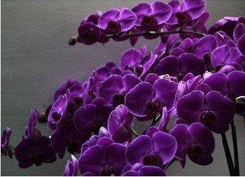 Nouvelle arrivee! violet orchidée papillon vente chaude noir 100 graines/sac