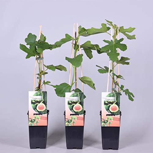 winterharte eßbare Feige, Ficus carica Brown Turkey 40 - 60 cm hoch im Pflanzcontainer