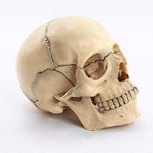 JAP768 1pc smaltato Skull Anatomical Model Anatomy Skeleton Skull Model Staccabile Medical Insegnante Forniture Strumento, 15 Parti