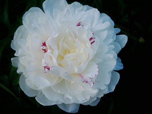 Pfingstrose für Ihren Garten - Shirley...