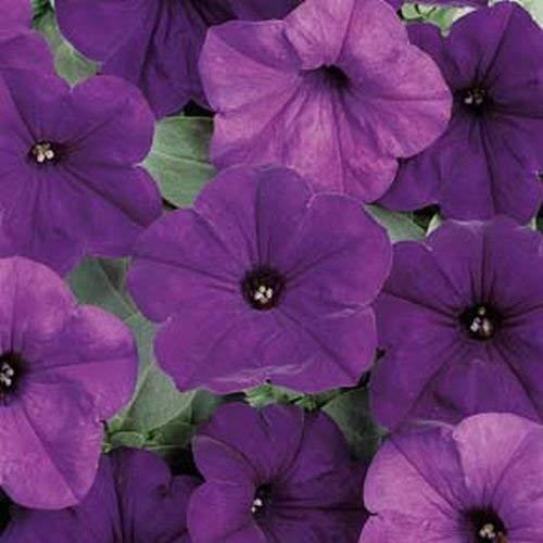 10 graines de Petunia Easy Series Blue Wave annuel