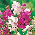 Outsidepride Sweet Peas - Pearl Mix