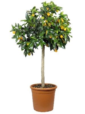 Meine Orangerie Kumquat Grande - echte Zitruspflanze - Fortunella Margarita - 110 bis 140 cm - Ovale Kumquat - Kumquat Tree - veredelte Zwergorange in Gärtner-Qualität