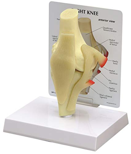 Knee Bone Joint Anatomical Model