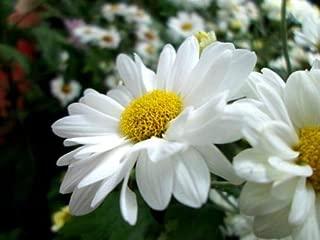 1 Packet of 1000 Seeds Dwarf Shasta Daisy - Chrysanthemum Maximum - White with Yellow Centers