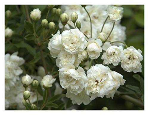 Rosa banksiae Alba Plena, Banksian Rose Plant in 9 cm Pot