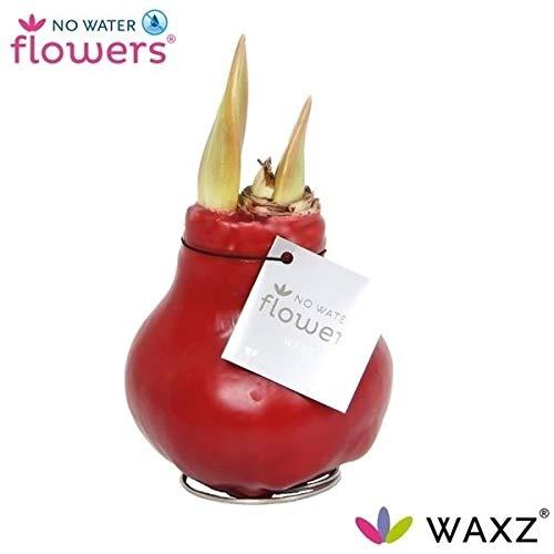 Waxz® Amaryllis Zwiebel gewachst, (Hippeastrum Hybride), rotblühend,keine Pflege nötig, (Bordeaux)