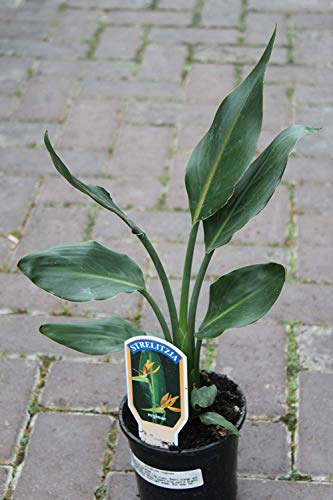 Zimmerpflanze Paradiesvogelblume - Strelitzia reginae - Exotische Pflanze für Wohnraum und Wintergarten- 30cms
