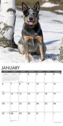 Just Australian Cattle Dogs 2019 Wall Calendar (Dog Breed Calendar)