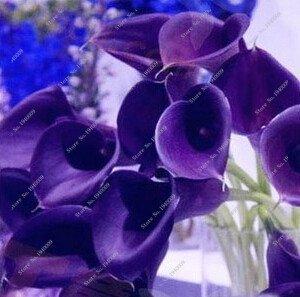 Virtue 100 Stücke Calla Liliensamen, seltene Pflanzen Blumen, Zimmer Blumen Rhizome Zantedeschia Aethiopica, Bonsai Zimmerpflanzen Hausgarten Palnt 18