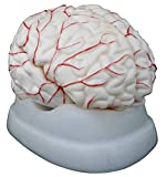 8 part human brain model. The model dissects into 8 parts to show the basilar artery; and the frontal and parietal lobes, temporal and occipital lobes, brainstem, and cerebellum of each hemisphere It is made of a non-breakable and high-quality PVC pl...