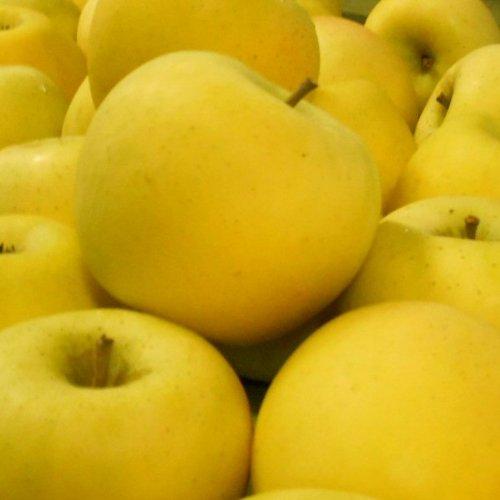 シナノゴールド Aランク(贈答用) 約5kg (12玉〜18玉) ≪ご贈答用≫ [CA貯蔵] 長野県産りんご