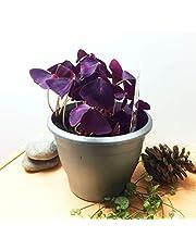 Oxalis Triangularis - Planta comestible para interior (14 cm), color morado