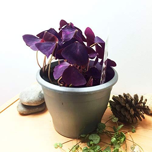 Oxalis Triangularis Pflanze, essbar, künstliches violettes Kleeblatt, Zimmerpflanze, 14 cm Topf