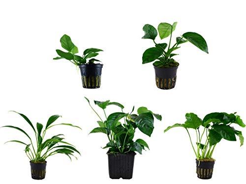 Tropica Anubias Set 4 versch. Anubias + 1 Mutterpflanze Aquariumpflanzen Nr.9 Wasserpflanzen Aquarium Aquariumpflanzen