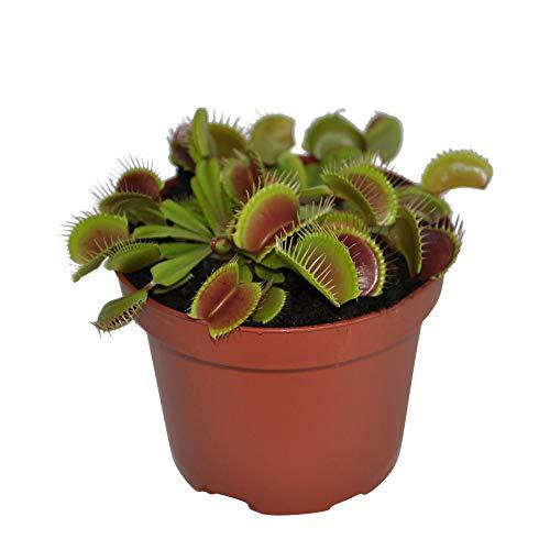 Dionaea muscipula | Droseraceae | Venusfliegenfalle | fleischfressende Pflanze | Höhe 10-15 cm | Topfgröße Ø 8 |5 cm