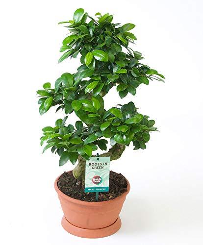 Ficus Microcarpa Ginseng S-Form | Bonsai Baum | Tropische Zimmerpflanze | Höhe 50-55cm | Topf-Ø 22cm
