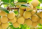 3 piezas Semillas de frutas Ginkgo Biloba Variedad rara Semilla de herencia no transgénica para plantar jardines Fácil de germinar No necesita mucho cuidado Adecuado para principiantes