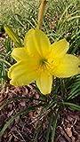 GEOPONICS Hémérocalle jaune (10 graines) Freh Thi EAON » et de mon jardin