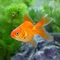 (国産金魚)琉金(1匹)