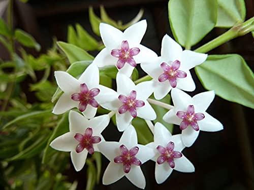 1 PIANTA Hoya Bella Fiore di Cera Vaso 14CM Perenni