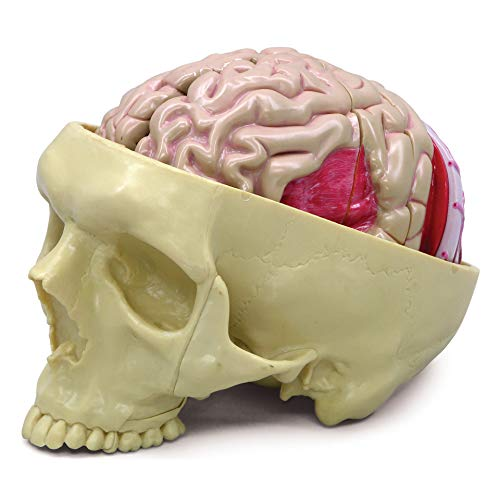Brain Model | Human Body Anatomy Replica of Brain w/Partial Skull for Doctors Office Educational...