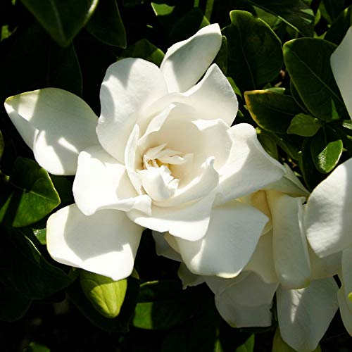Southern Living Plant Collection 2096Q 2.5 Qt - Jubilation Gardenia Blooming Shrub, Quart, White, Green