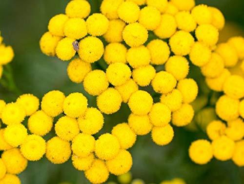500 Graines de Tanaisie - fleurs plante amie pour traitement méthode BIO