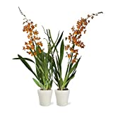Orquídeas de Botanicly – 2 × Cambria Burrageara Catatante – Altura: 60 cm, 2...